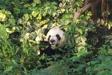 Onde ver urso panda na China