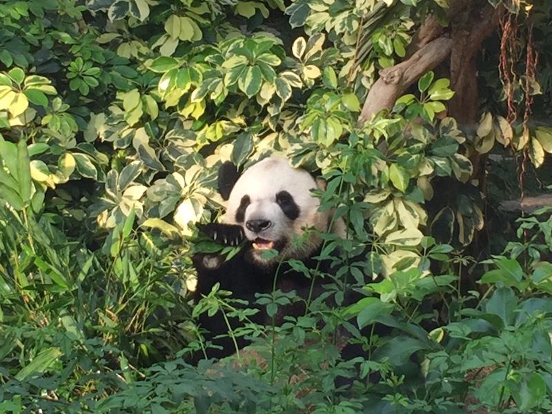 panda na China